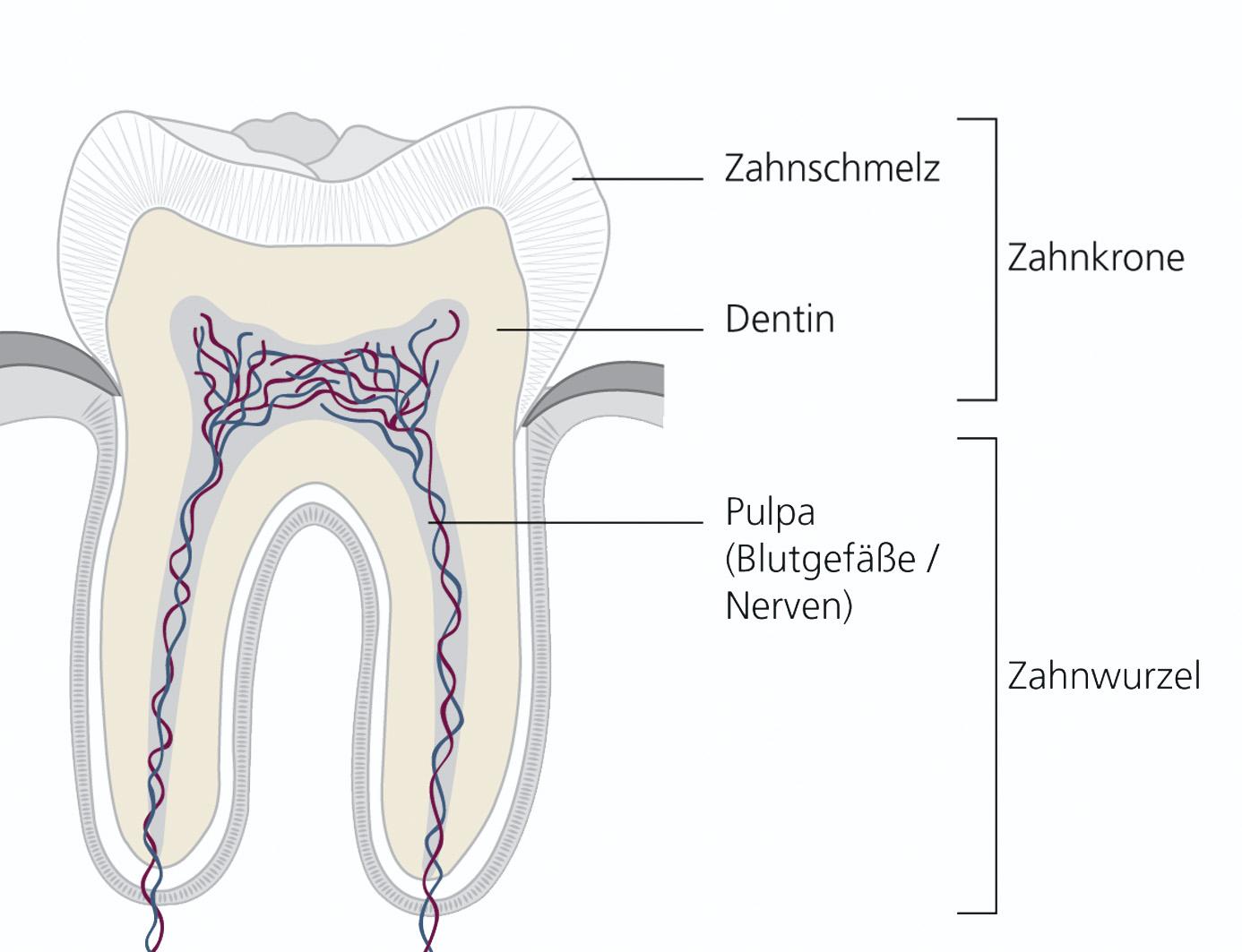 Niedlich Zahn Anatomie Und Physiologie Ideen - Anatomie Ideen ...