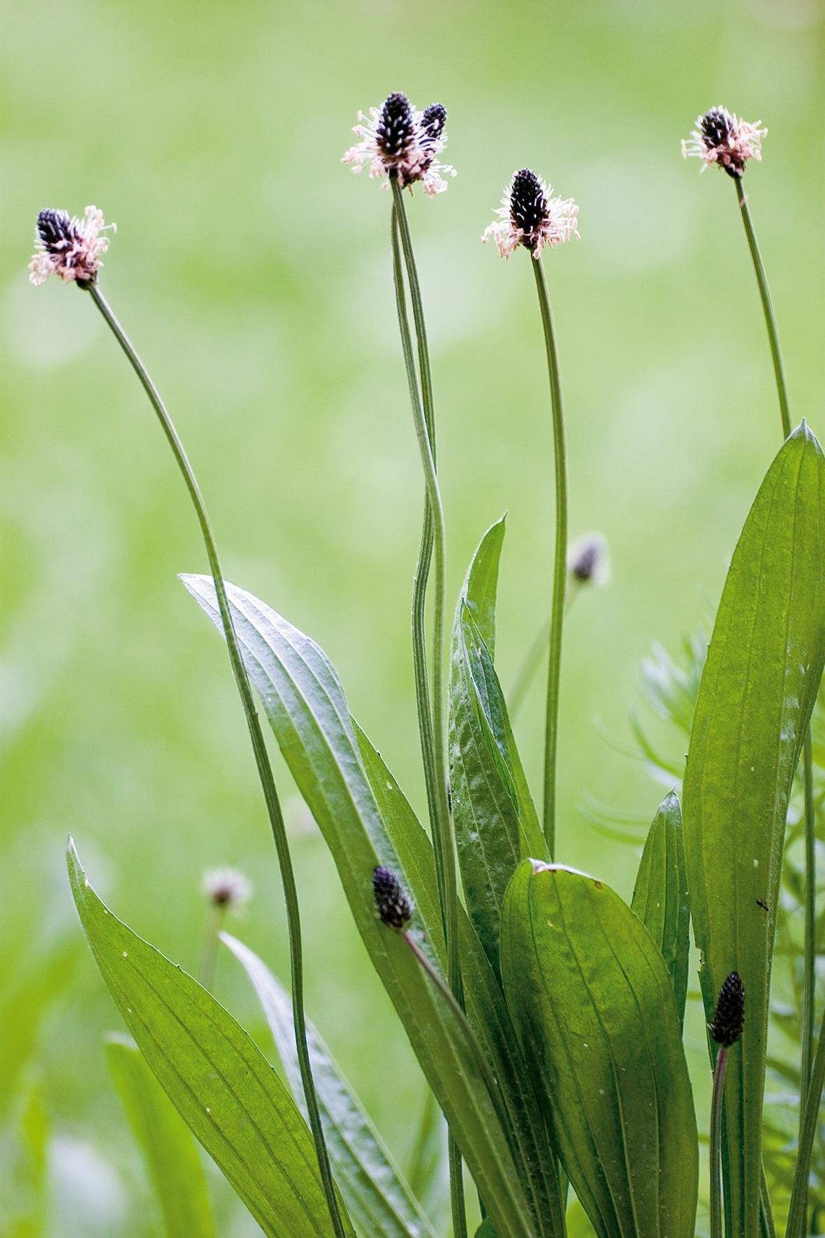 spitzwegerich arzneipflanze des jahres 2014 auch in der wala plantago linie gesundheit adhoc. Black Bedroom Furniture Sets. Home Design Ideas