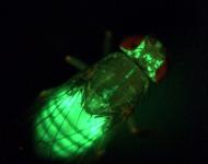 """An Fliegen lässt sich der Energiestoffwechsel gut erforschen. Hier wird das Körperfett der Fliege durch das fluoreszierende Protein GFP (""""green fluorescent protein"""") sichtbar gemacht. © Teleman/DKFZ"""