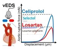 Wenn die Hauptschlagader plötzlich reisst: Celiprolol nicht aber Losartan stärkt die Aorta bei vEDS.