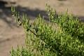 Die Arzneipflanze des Jahres 2021 ist der Myrrhenbaum. (Quelle: Shutterstock/NANCY AYUMI KUNIHIRO)